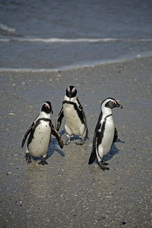penguins on beach: African Penguins at Boulders Beach, South Africa