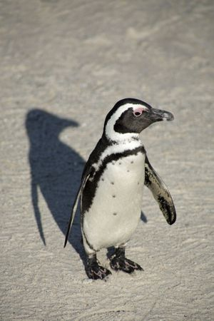 capetown: African Penguins at Boulders Beach, South Africa