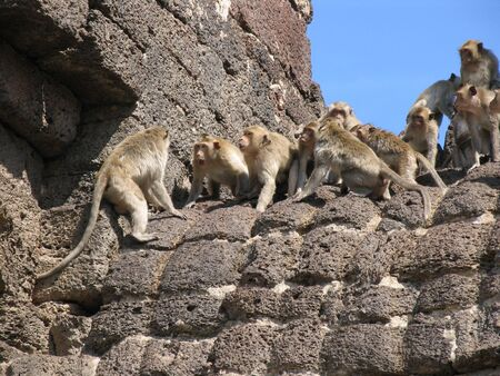 standoff: Monkeys fight over a temple in Lopburi, Thailand