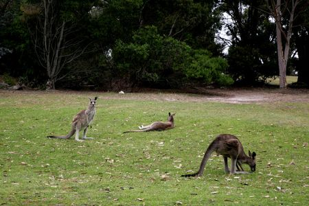 Western Grey Kangaroo on Anglesea Golf Course, Melbourne Stock Photo - 2767288