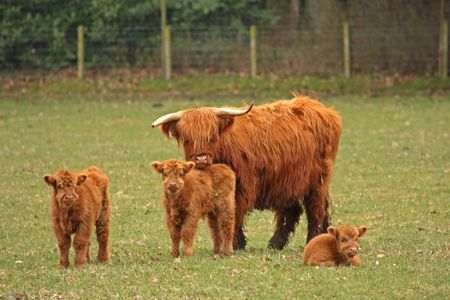 Highland Cows just South of Aberdeen, Scotland photo
