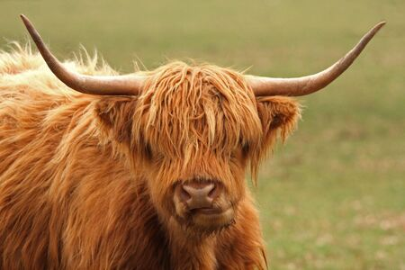 Highland Cow just South of Aberdeen, Scotland photo
