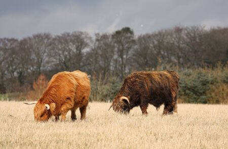 nose ring: Highland Cows just South of Aberdeen, Scotland
