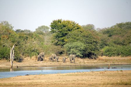 sabie sand: Elephants in the Kruger National Park - South Africa Stock Photo