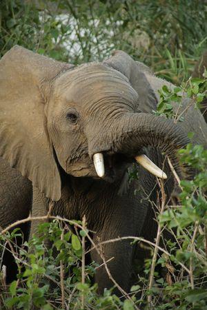 sabie sand: Elephant in the Kruger National Park, South Africa