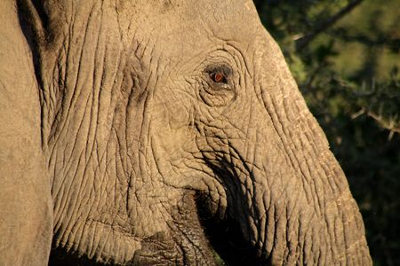 sabie sand: Elephant in the Sabie Sands Private Game Reserve National Park, South Africa