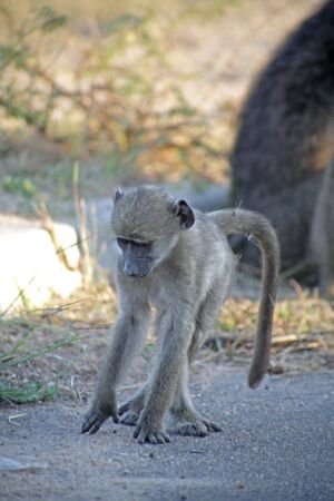 kruger:  baboon playing in the Kruger National park, South Africa Stock Photo
