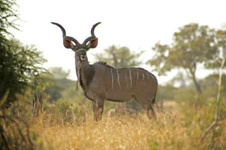 A amle Kudu in the Kruger National Park, South Africa
