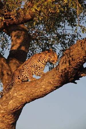 sabie sand: A leopard relaxing in a tree, in Sabie Sands