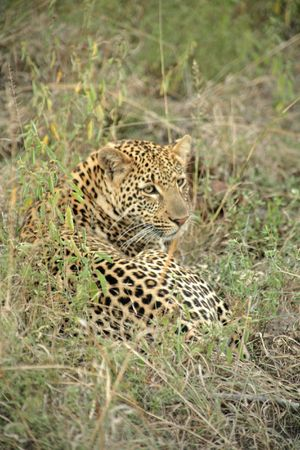 sabie sand: A leopard in the Sabie Sands Private Game Reserve, South Africa