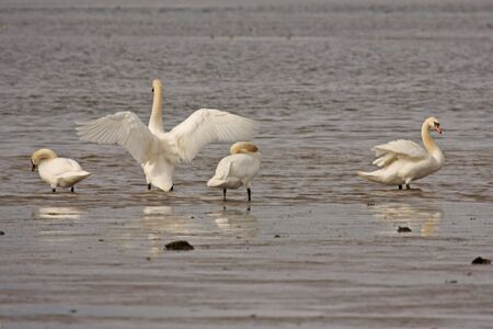 Swans on the Ythan Estuary, North of Aberdeen, Scotland photo