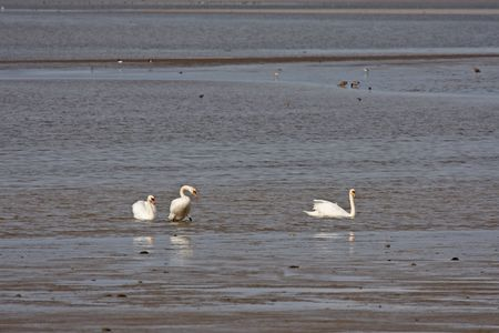 Swans on the Ythan, north of Aberdeen, Scotland photo