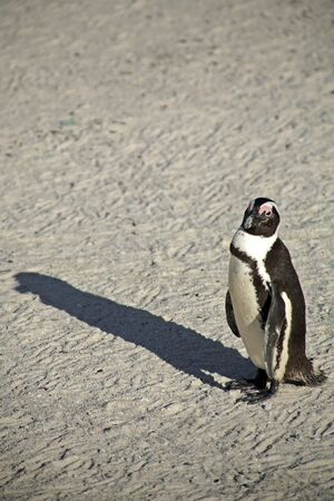 penguins on beach: Penguins at Boulders Beach, Capetown, South Africa
