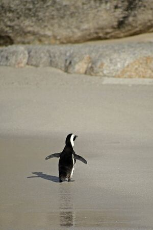 capetown: Penguins at Boulders Beach, Capetown, South Africa