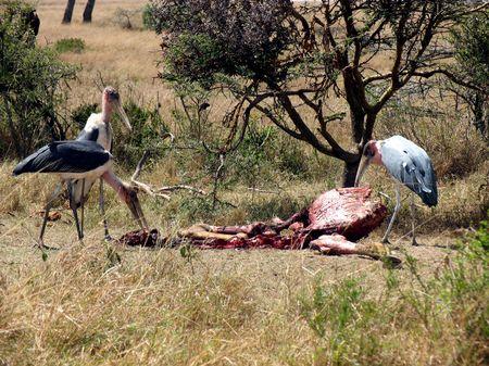 Marabou Storks on a Carcass, Masai Mara, Kenya photo