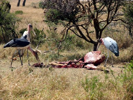 carcass: Marabou Storks op een karkas, Masai Mara, Kenia