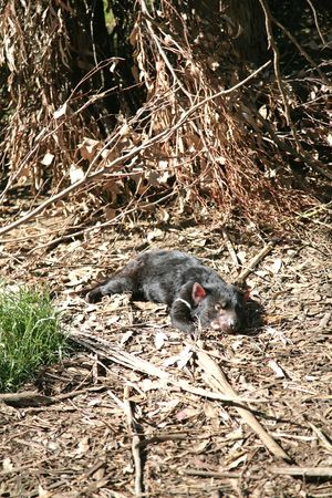 taz: Photograph of a Tasmanian Devil, Tasmania, Australia