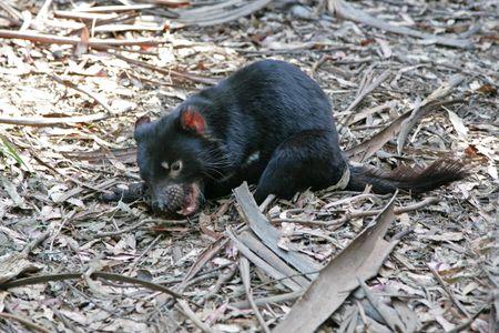 Photograph of a Tasmanian Devil, Tasmania, Australia photo