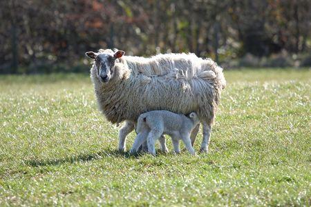 ewes: Sheep and Lamb Feeding, near Peterhead, Scotland