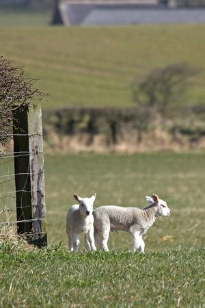 Spring lambs in a field near Peterhead, Scotland photo