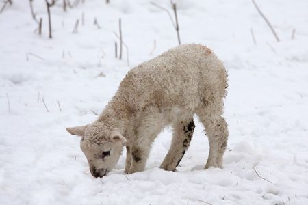ewes: Spring lamb in the snow, Aberdeen, Scotland