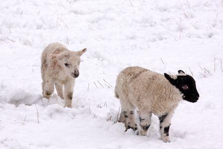 Spring lamb in the snow, Aberdeen, Scotland