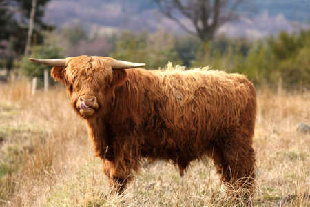 Highland Cow in Royal Desside, Aberdeen, Scotland photo
