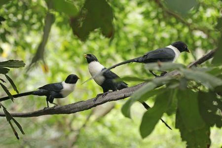 necked: Drie witte Necked Mynas, in Hongkong Stockfoto