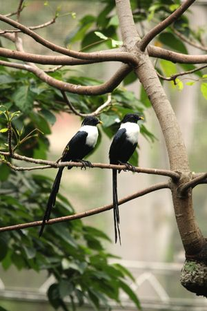 necked: Two White Necked Mynas in Hong Kong Stock Photo
