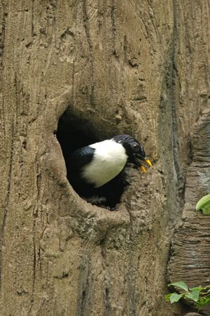 white necked: Bianco collo Myna a Hong Kong
