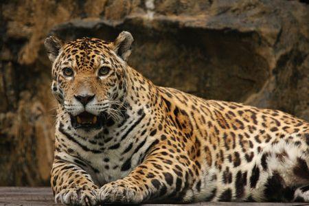 onca: A photo of a male jaguar (Panthera onca) Stock Photo