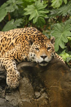 A photo of a male jaguar (Panthera onca) Stock Photo