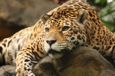 A photo of a male jaguar (Panthera onca) Stock Photo