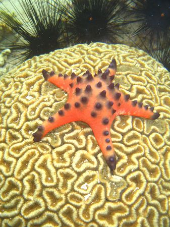 Red starfish on a Brain Coral Stock Photo