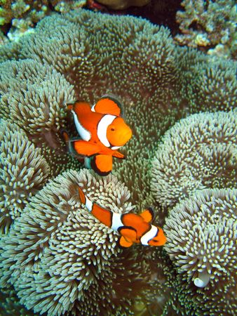 Underwater photograph of a clownfish (nemo) photo