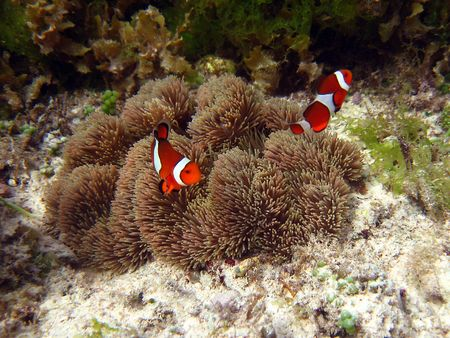 Underwater photograph of a clownfish (nemo)