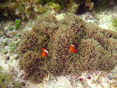 Underwater photograph of a clownfish (nemo) photo