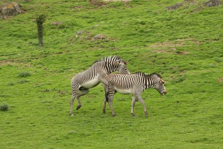 Photograph of Zebra's attempting to mate