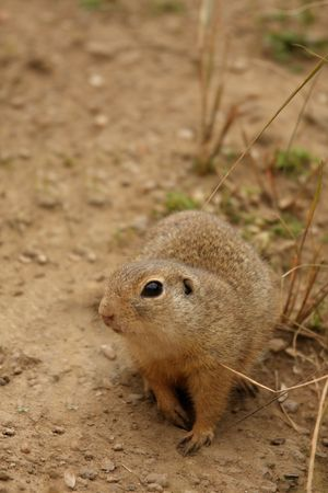 xerus inauris: Photo of a Ground Squirrel