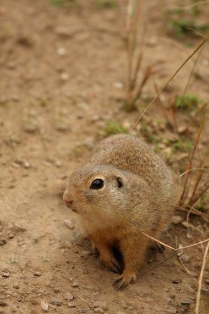 cape ground squirrel: Photo of a Ground Squirrel