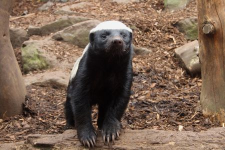 Photo of a Honey Badger (Ratel) Stock Photo