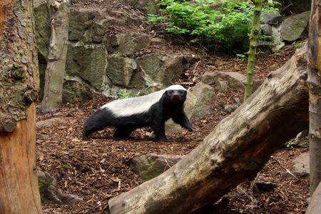 Photo of a Honey Badger (Ratel) Stock Photo