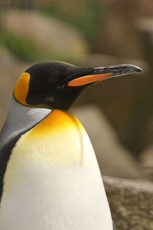 Photograph of a King Penguin photo