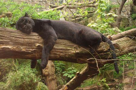 Sleeping black jaguar, (Bagheera from Jungle book?) photo