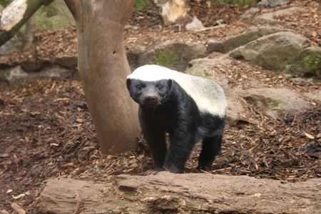 fearless: Photo of a Honey Badger (Ratel) Stock Photo