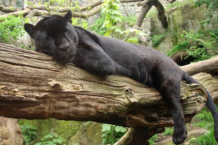 Sleeping black jaguar, (Bagheera from Jungle book?) photo