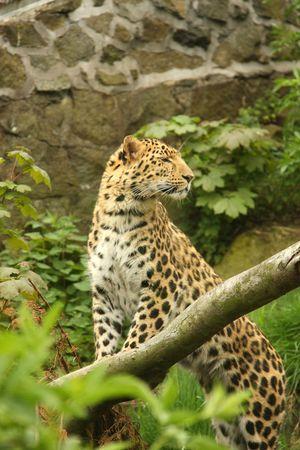 Photograph of a Female Jaguar