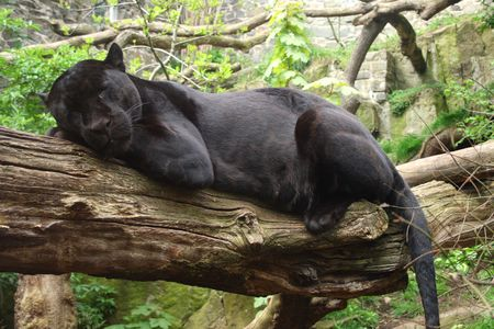Sleeping black jaguar, (Bagheera from Jungle book?)