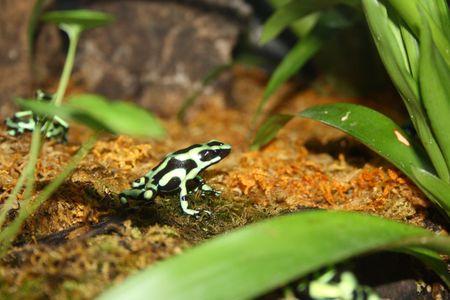 anuran: Blue and Black Posion Arrow Frog