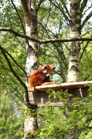 Photograph of a red panda photo
